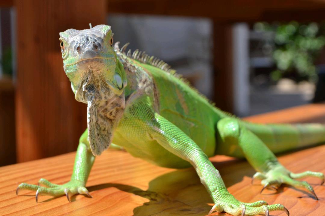 Adoptions – San Diego Herpetological Society